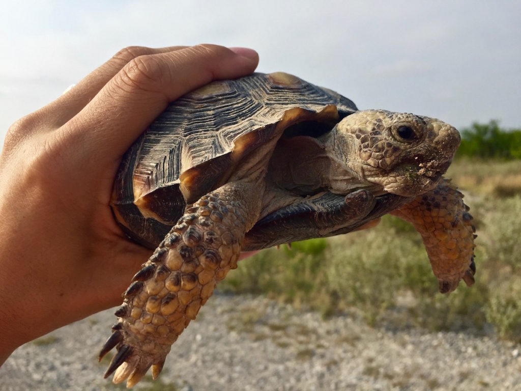 Holding a big, wild turtle in the hand