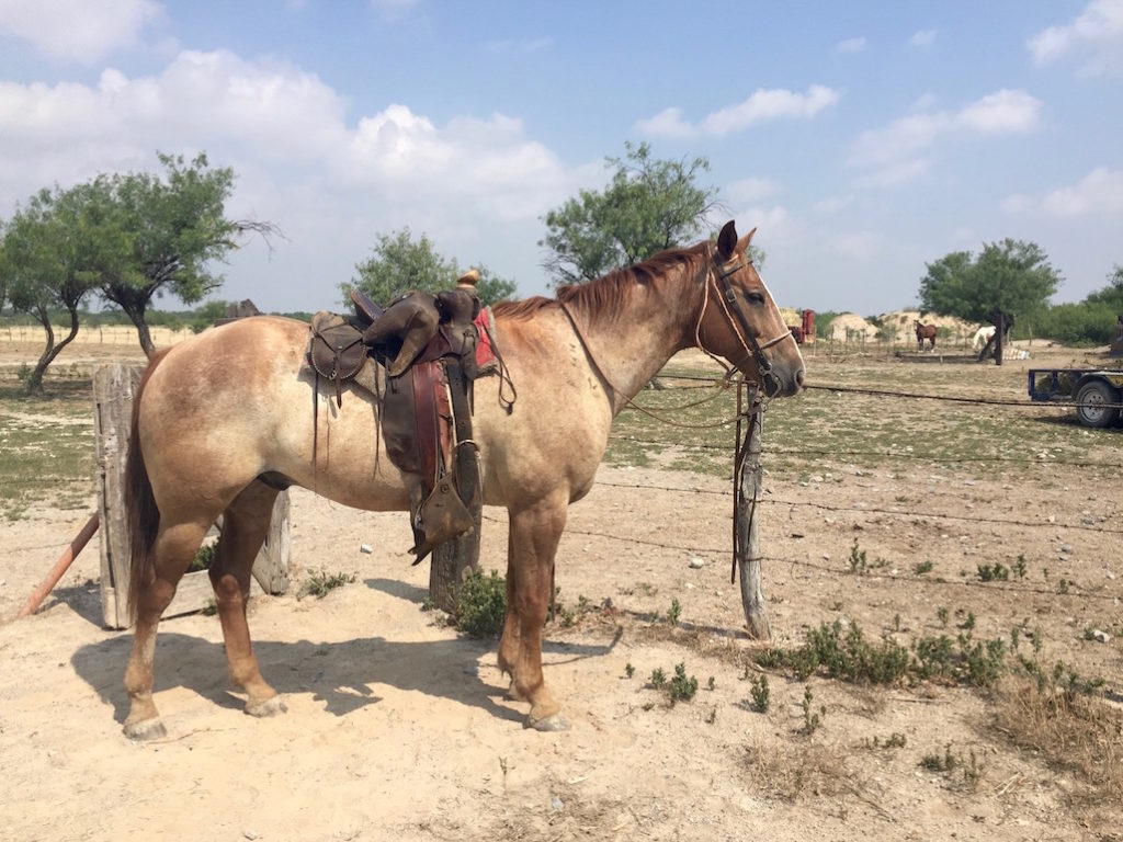 Mexican working horse saddled and ready to ride
