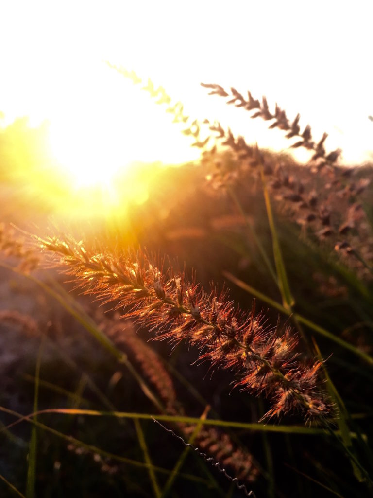 Weed in front of a golden sunset