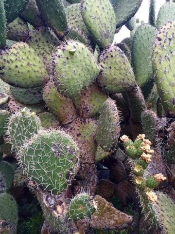 Big cactus with unripe fruits