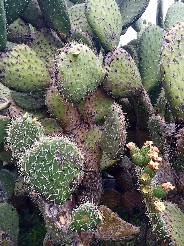 Big cactus with unripe fruits