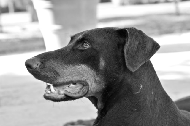 Merida the doberman in profile captured in black and white