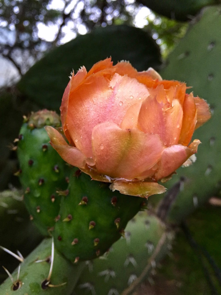 An orange cactus flower with raindrops on the leafs