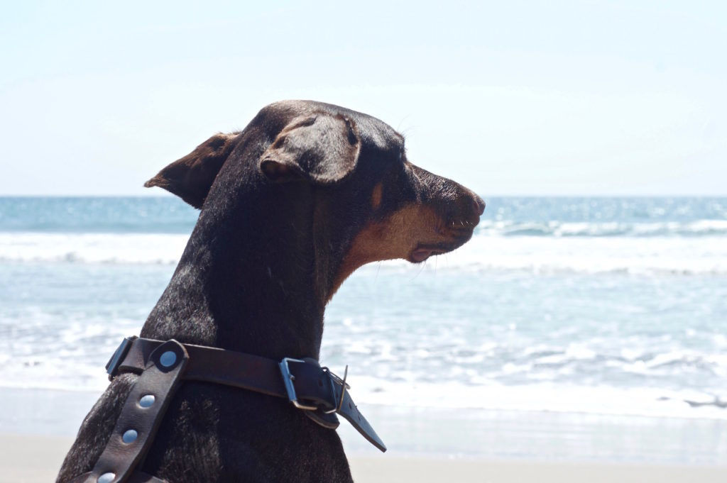 Merida the doberman watching the sea and the horizon