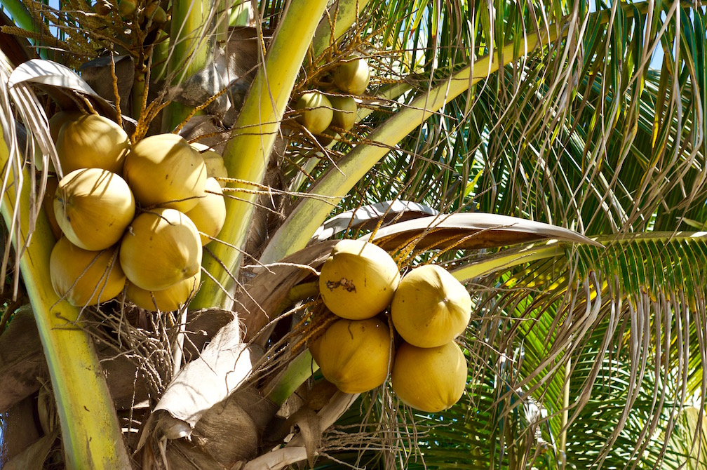 Yellow coconuts on a coconut palm tree