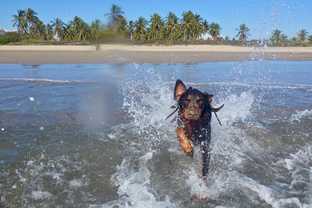 Merida the doberman running into the pacific ocean