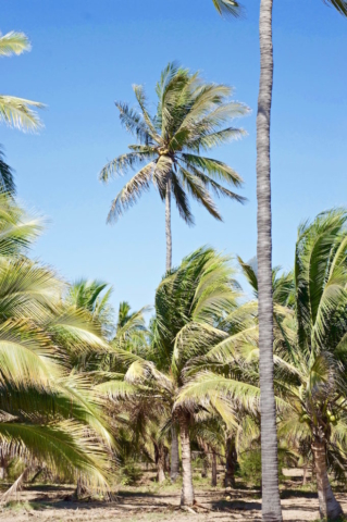 Tall coconut palm trees in front of the blue sky
