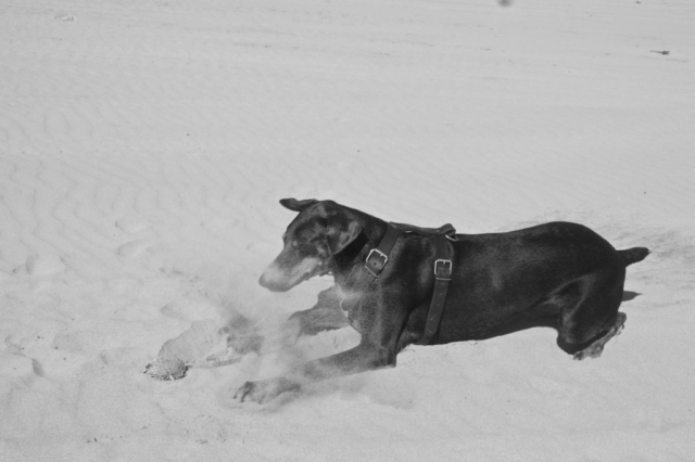 Merida a female doberman fighting with a dead blowfish in the sand
