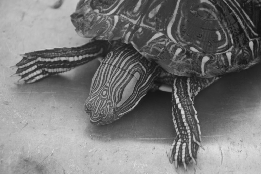 Beautiful drawings of a water turtle captured in black and white