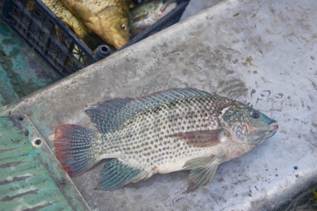Mexican sun perch laying in a boat
