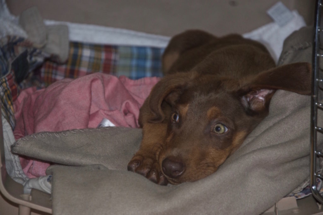 Ikarus our young and cute doberman in his cave