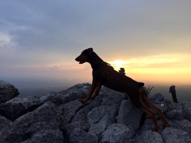 Ikarus a young doberman enjoying the view from the rocky mountaintop