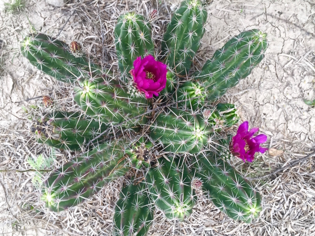 Pink flowering cactus seen from above