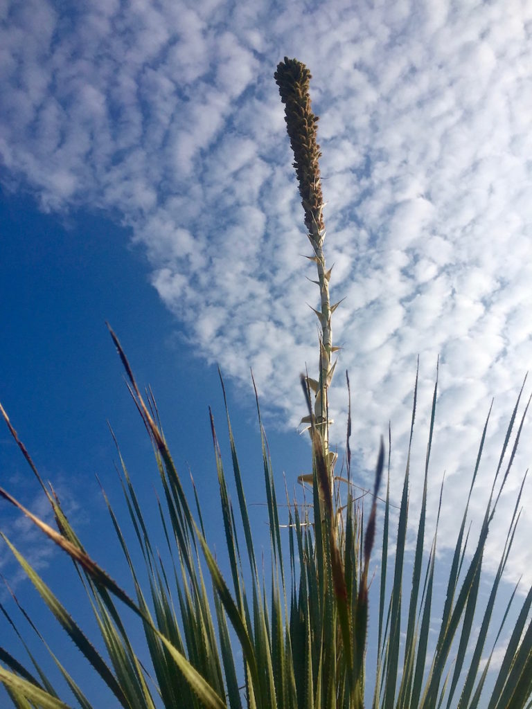 Mexican spiky plant in front of puffy white clouds and blue sky
