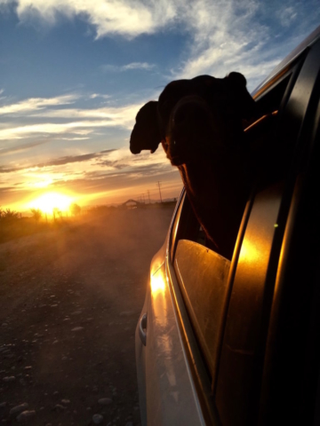 Merida a doberman looking out of the window while driving into the sunset