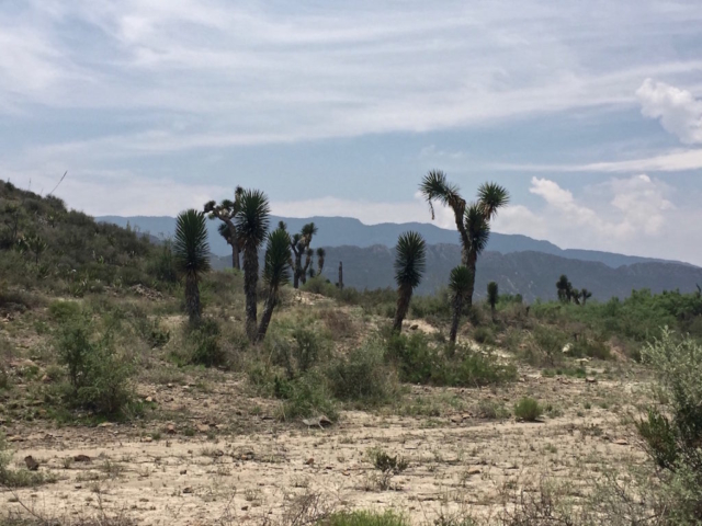 Joshua trees in the Mexican desert