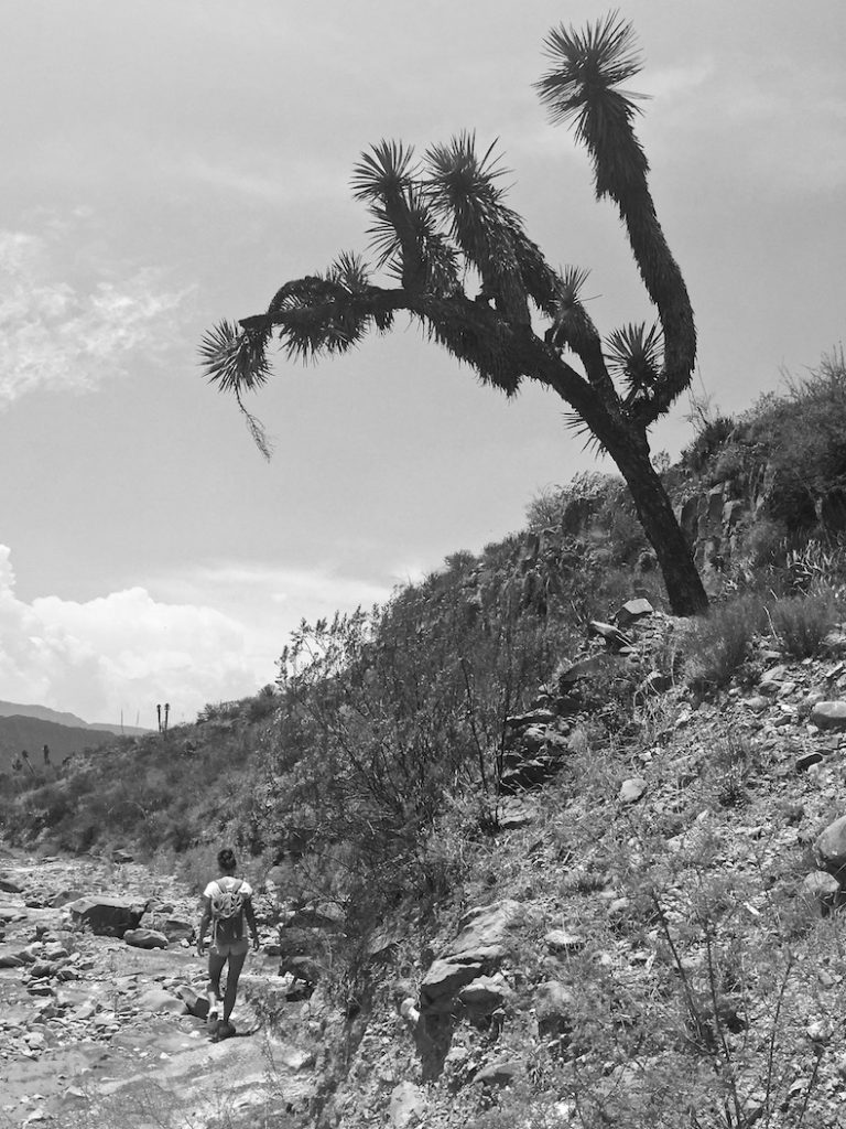 Mexican Joshua tree in the desert