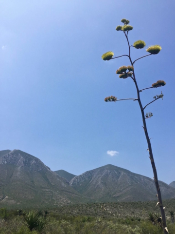 Flowers of an agave in front of the mountains in the Mexican desert