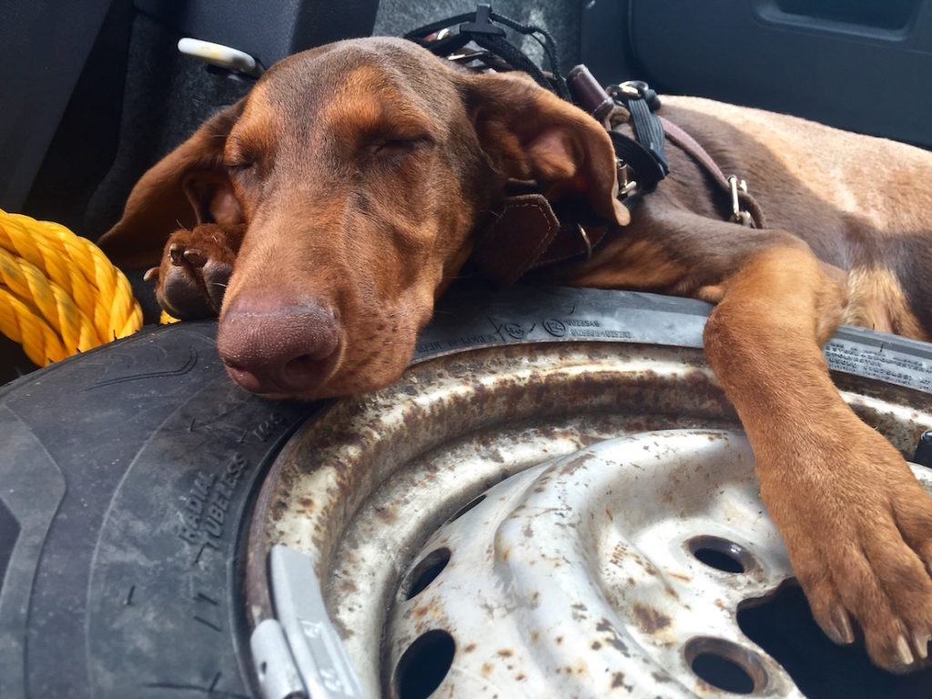 Ikarus a young doberman sleeping o a spare tire
