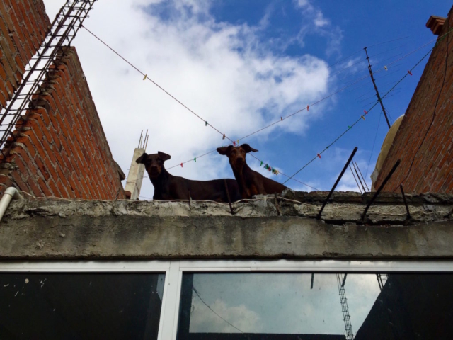 Merida and Ikarus, our two doberman looking down from the roof