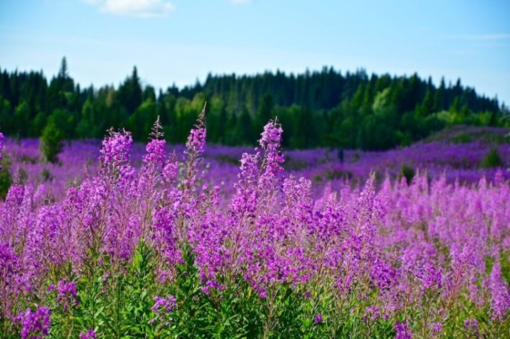 Fields full of purple fireweed in front of the deep green forest in Lapland, Sweden