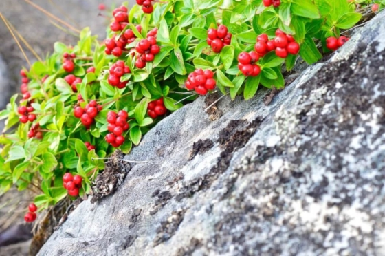 Red lingon berries growing in between the grey rocks in Lapland, Sweden