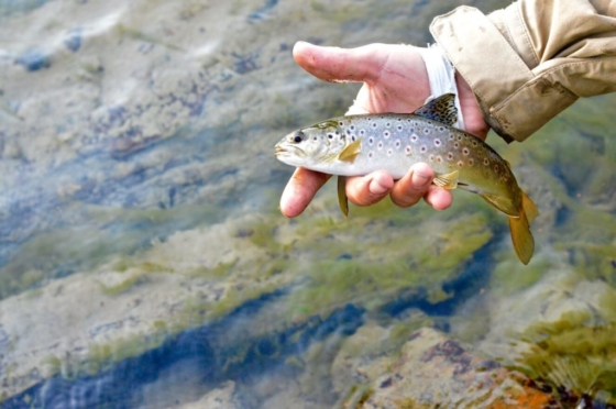 A small but beautiful coloured brown trout in my hand