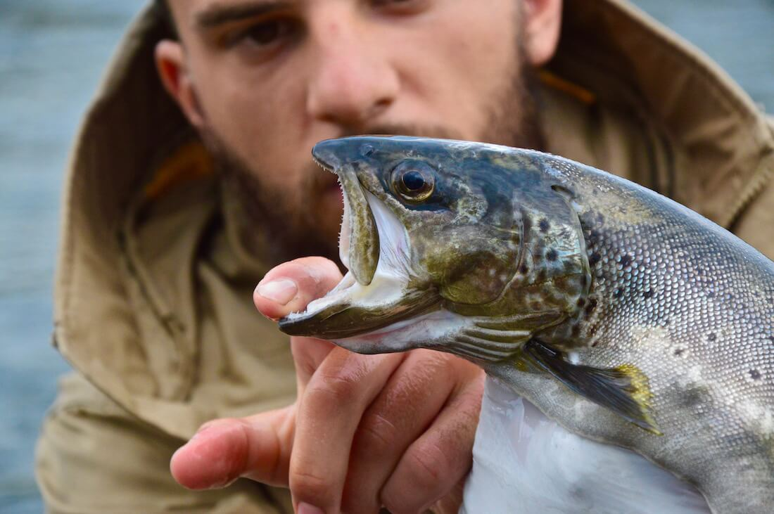 Close up of a big brown trouts head with Peter in the background