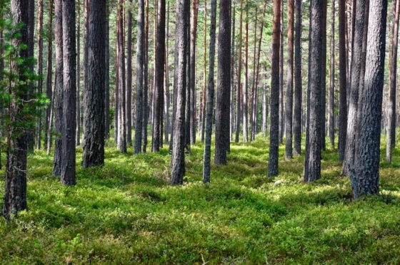 Green blueberry bushes covering the floor of a pine wood forest in Lapland, Sweden