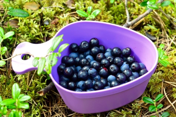 A purple cup on the moss covered ground full of fresh blueberries