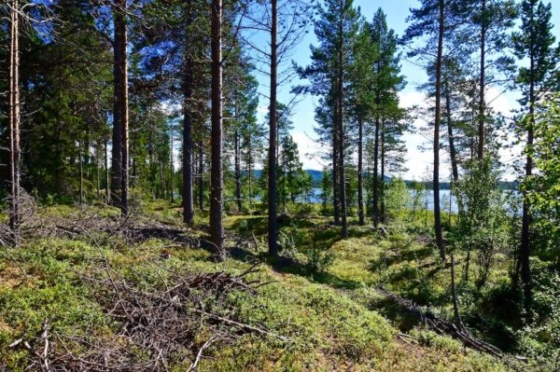 A blue lake glimmering through the trees of a light forest with moss covered floor