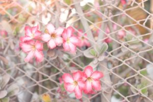 Hawaiian Flowers blooming in pink and growing on an old fence