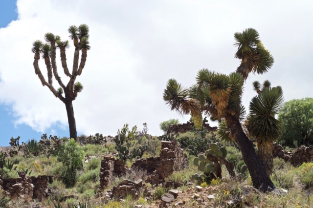 Joshua trees standing tall under the sun near Real de Catorce