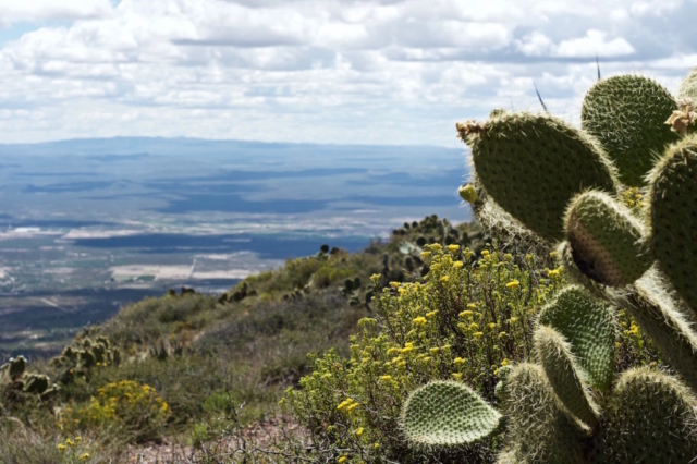 Nopales cactus and yellow flowers covering the dry mountains of north Mexico
