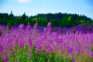 Beautiful fireweed in front of a deep green Swedish forest