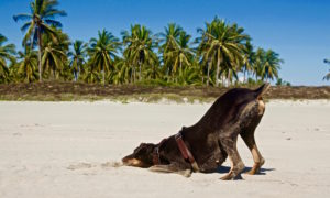 Doberman dog Merida playing under palm trees at the beach in Mexico