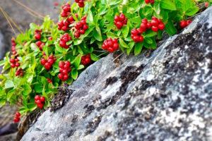 ripe red lingonberries growing between the stones