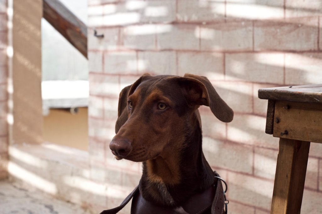Ikarus our young doberman in portrait in front of a wall