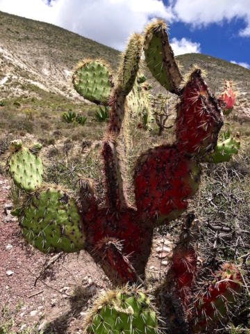 A red painted cactus serving Mexican shepherds as marker in the mountains