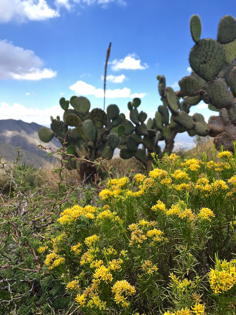 Yellow flowers and nopales cactus in the mountains of the Sierra Madre, Mexico